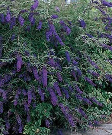 Butterfly Bush 'Black ...
