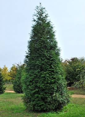 Green giant arborvitae 1 gallon container Green giant arborvitae