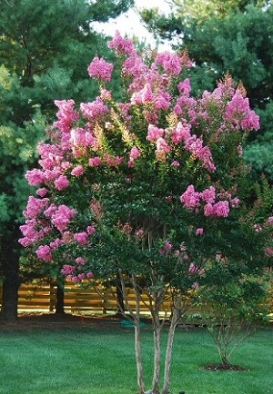 """SIOUX' Crapemyrtle Tree"