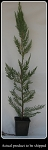 Leyland Cypress/ 3 in. Container