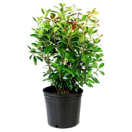 Cleyera japonica mature size