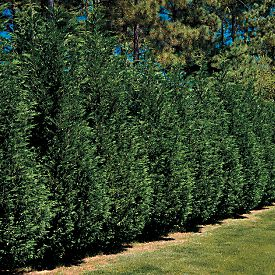 how to grow leyland cypress from cuttings