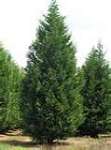 Leyland Cypress / 1 Gallon Container