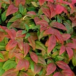 Quart 'Firepower' Nandina