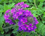 Homestead Verbena Purple